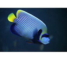 Emperor angelfish Photographic Print