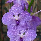 Purple Orchid (Vanda coerulea) by presbi
