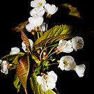 Cherry blossom by JEZ22