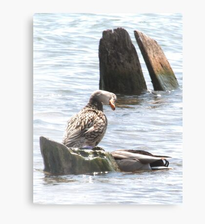Silly Duck Canvas Print