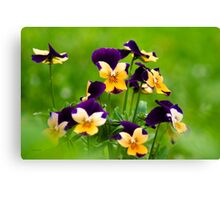 Colorful Viola Flowers Canvas Print