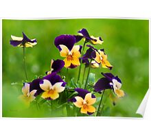 Colorful Viola Flowers Poster