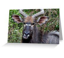 Nyala Male Close Up Greeting Card