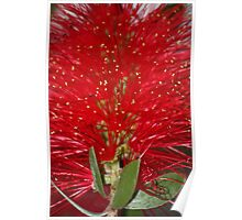 bottle brush in bloom  Poster