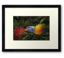 grass parrot in bottle brush Framed Print