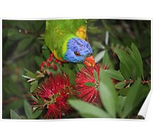 grass parrot in tree  Poster
