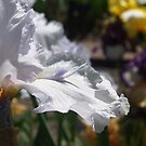 Lavender Icicle Iris by Christine Lewandowski
