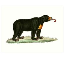 Brown Bear with long curly tongue Vintage Illustration Art Print