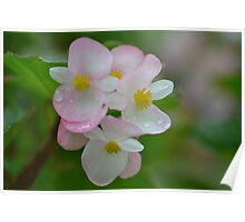 Begonias after the Rain Poster