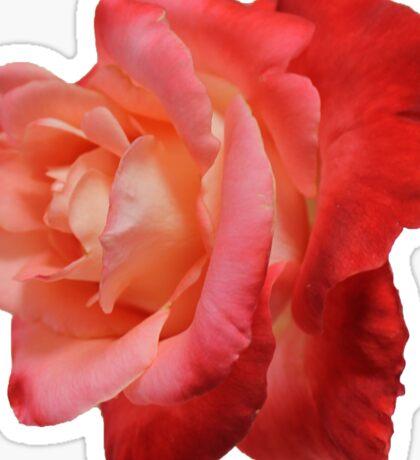 Ombré Red Garden Rose IV - Hipster/Pretty/Trendy Flowers Sticker