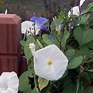 White Morning Glory  by Sandra Lee Woods