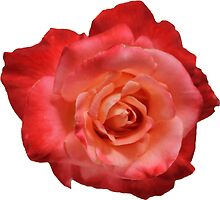 Ombré Red Garden Rose I - Hipster/Pretty/Trendy Flowers by Vrai Chic
