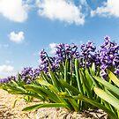 Beautiful Hollandse Hyacinthus by Maxim Mayorov