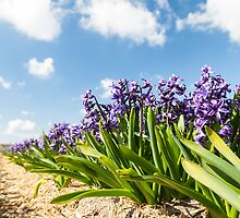 Beautiful Hollandse Hyacinthus by Maxim Mayorov