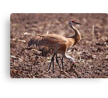 Mr and Mrs Sandhill Crane Canvas Print