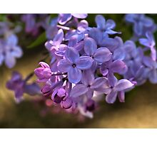 Lilac in bloom  Photographic Print