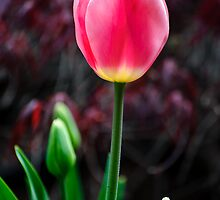 Tulip And Buds by Diego  Re