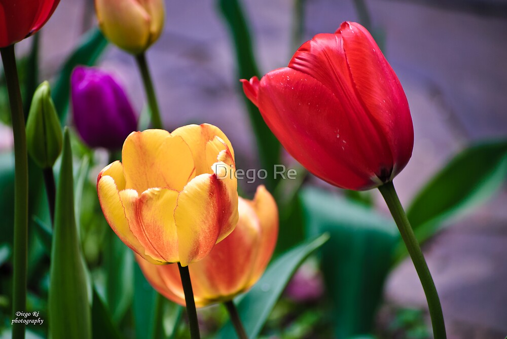 Yellow And Red Tulips by Diego Re