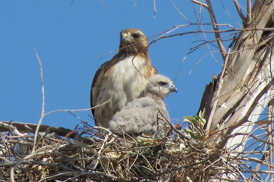 Red-tailed Hawk & Chick by Kimberly P-Chadwick
