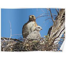 Red-tailed Hawk & Chick Poster