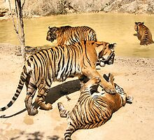 Bengal Tigers PLaying by Carole-Anne