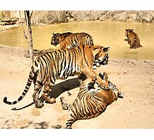 Bengal Tigers PLaying Photographic Print