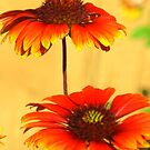 Sunshine on daisies by Christine Ford