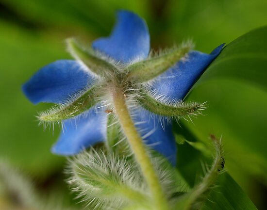 Borage Herb by kalaryder