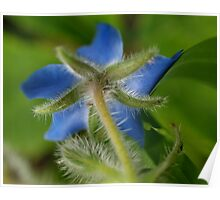 Borage Herb Poster