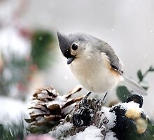 Playful Titmouse by Christina Rollo
