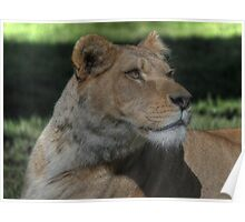 Barbary Lion Poster