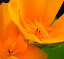 Orange Poppies Colorful Flower Art Sticker
