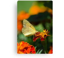 Clouded Sulphur Butterfly Canvas Print