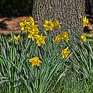 Daffodils by Joy  Rector