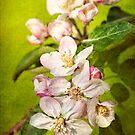 Apple Blossoms by Beth Mason