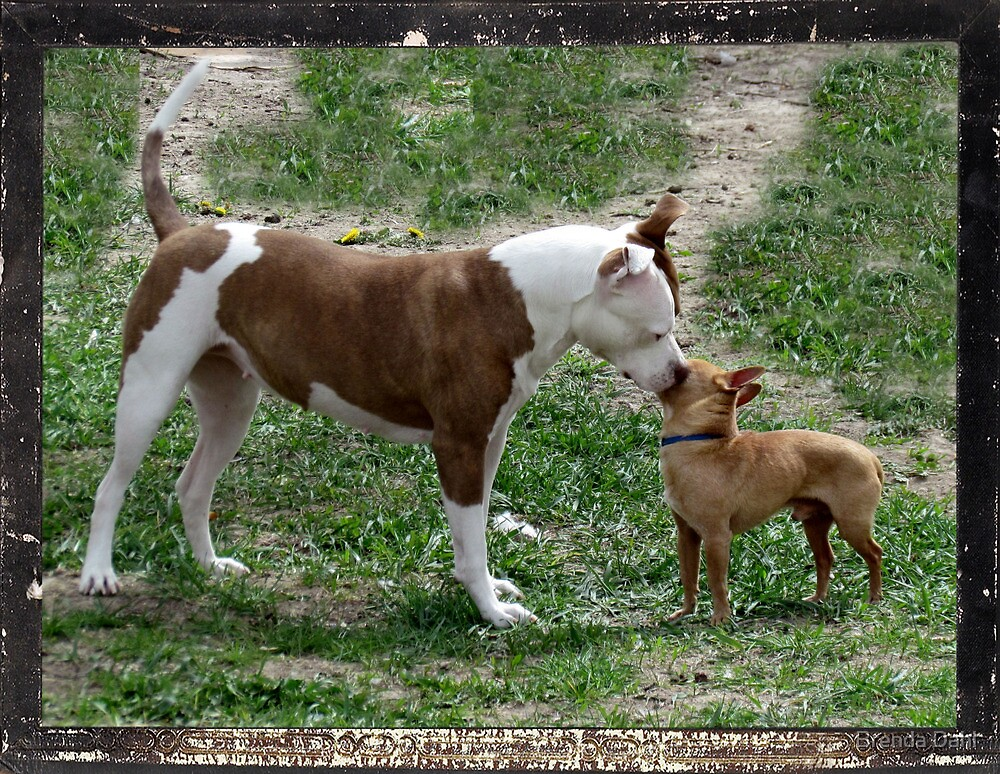 Pitbull meets Chihuahua  by Brenda Dahl