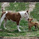 Pitbull meets Chihuahua  by Pbratt79