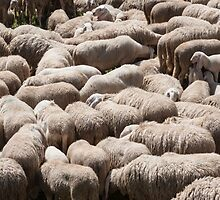 lambs and sheep in the flock in the mountains by spetenfia