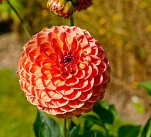 Ball Dahlia by Vac1