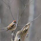 American Tree Sparrow at Dolman Ridge by Heather Pickard