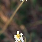 Little White Flower I by BengLim