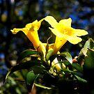 Yellow Jessamine flower by Katie Vickery