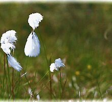 Bog Cotton by julesn