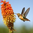 Hummingbird in flight by Jerome Obille