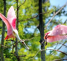 Roseate Spoonbill Fight by freevette