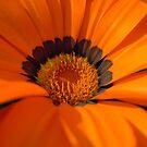 Orange Daisy by TheaShutterbug