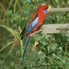 A Feeding Rosella by warmonger62