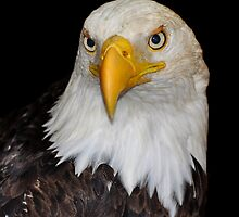 Portrait of a Bald Eagle by Carl Olsen