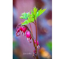 Bleeding Heart Flowers Photographic Print