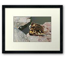 Mallard Duck Ducklings Framed Print